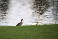 Egyptian goose (Alopochen aegyptiacus) next to the water.  Stock Photography