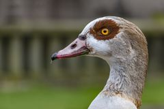 Egyptian goose Alopochen aegyptiacus. Portrait of an Egyptian goose Alopochen aegyptiacus against a blur background and a sunny day Royalty Free Stock Images
