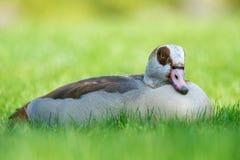 Egyptian goose - Alopochen aegyptiacus Royalty Free Stock Photo