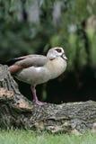 Egyptian goose, Alopochen aegyptiacus Stock Photography