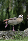 Egyptian goose, Alopochen aegyptiacus. Single bird on branch, Norfolk Royalty Free Stock Images
