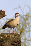 Egyptian goose, Alopochen aegyptiacus. Single bird on branch in tree, London parks, March 2012 Stock Images