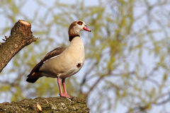 Egyptian goose, Alopochen aegyptiacus. Single bird on branch in tree, London parks, March 2012 Stock Image