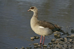 Egyptian goose, Alopochen aegyptiacus Stock Photo