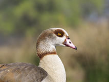 Egyptian goose, Alopochen aegyptiacus. Single bird head closeup, London, March 2017 Royalty Free Stock Images