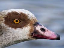 Egyptian goose, Alopochen aegyptiacus Stock Photos