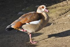 Egyptian Goose, Alopochen aegyptiacus,standing on one leg Royalty Free Stock Photography