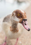 Egyptian Goose. An Egyptian, Alopochen aegyptiacus, goose staring at the camera Stock Photo
