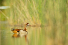 Egyptian goose (Alopochen aegyptiacus). Swimming in a pond in Frankfurt, Germany Royalty Free Stock Image