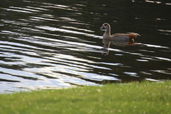Egyptian goose (Alopochen aegyptiacus) in the water.  Royalty Free Stock Images