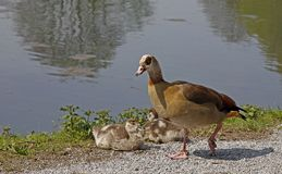 Egyptian Goose (Alopochen aegytiacus) Royalty Free Stock Image