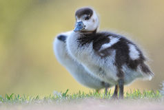 Egyptian Goose baby out of the water Stock Photo