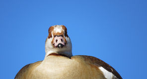 Egyptian Goose. A birds eye view from a goose who is part of the swan and duck family too Stock Image