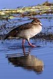 Egyptian Goose - Botswana Royalty Free Stock Photos