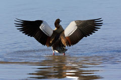 Egyptian Goose - Botswana Royalty Free Stock Photography