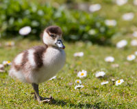 Egyptian goose chick. First steps on a green grass with daisy flowers stock images