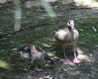 Egyptian goose with chick Stock Photo