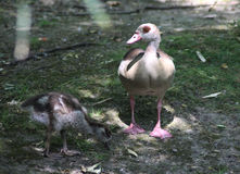 Egyptian goose with chick Royalty Free Stock Images