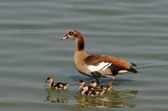 Egyptian goose with chicks Stock Image