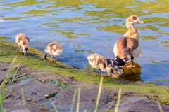 Egyptian goose with chicks Stock Photos