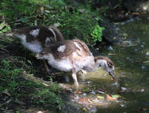 Egyptian goose chicks Stock Photography