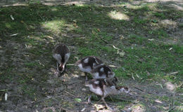Egyptian goose chicks Stock Image
