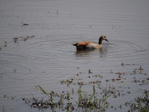 Egyptian goose at Chobe National Park Stock Image