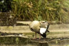 Egyptian goose cleaning itself / UK Royalty Free Stock Photos