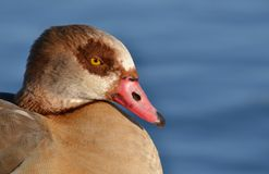 Egyptian goose close up Royalty Free Stock Photos
