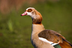 Egyptian Goose. Colourful portrait of Egyptian Goose with background of defocused grassland, shot at Whittlingjham Lake in Norfolk Stock Photos