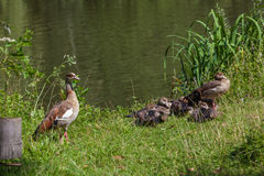 Egyptian Goose Stock Photos