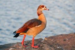 Egyptian goose Royalty Free Stock Photos