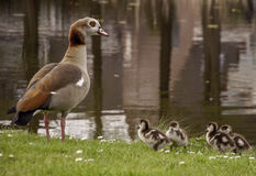 Egyptian goose duckies chicks Royalty Free Stock Image