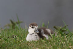 Egyptian goose duckling sitting in the grass Stock Images