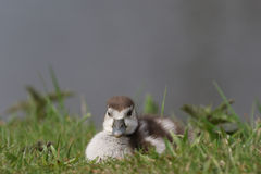 Egyptian goose duckling sitting in the grass Royalty Free Stock Image