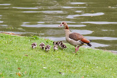 Egyptian Goose and Ducklings Royalty Free Stock Photography