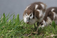 Egyptian goose ducklings in the grass Stock Images
