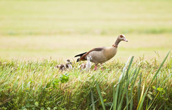 Egyptian goose with ducklings Royalty Free Stock Photo