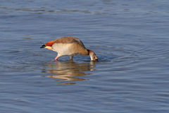Egyptian goose eating Royalty Free Stock Image