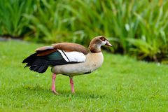 An Egyptian goose. Is rambling on the grassland in Kirstenbosch National Botanical Garden in Capetown, South Africa. They are big colorful wild bird with royalty free stock photo