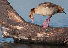 Egyptian Goose examining branch Stock Photos