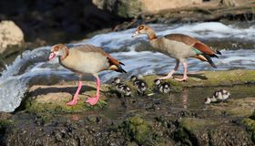 Egyptian goose family Stock Images