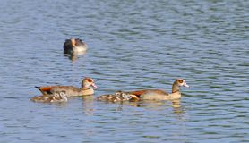 Egyptian Goose family Stock Photo