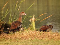 Egyptian Goose family. Royalty Free Stock Photo