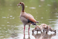 Egyptian goose family go for a swim on their own in dangerous wa Royalty Free Stock Image