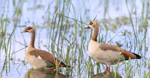 Egyptian goose family go for a swim on their own in dangerous wa Stock Image