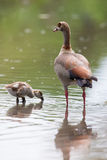 Egyptian goose family go for a swim on their own in dangerous wa Stock Photography