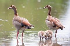 Egyptian goose family go for a swim on their own in dangerous wa Royalty Free Stock Photos