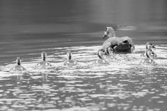 Egyptian goose family go for a swim on their own in dangerous wa Royalty Free Stock Photo