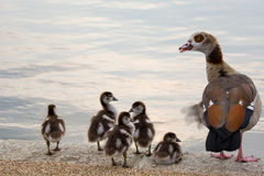 Egyptian Goose Family Stock Photos